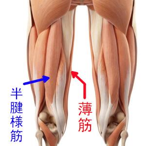 薄筋とハム内側の半腱様筋